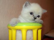 продаем котят породы скоттиш фолд и скоттиш страйт