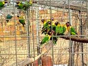 Продам недорого попугаев - масковых неразлучников