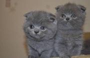 шотландские вислоухие котята в запорожье
