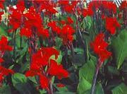 канны крупноцветковые красные