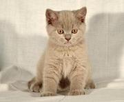 Продам лиловых британских котят