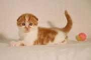 Шотландские котята,  потенциальный шоу-класс