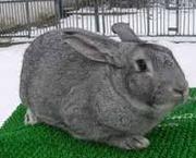 Кролики акселераты породы шиншилла