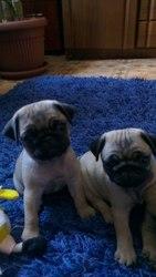Продам замечательных 2 девчушек-щенков бежевого мопса