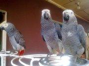 Африканские серые попугаи и попугаи ара для продажи