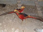 продам фазан золотой красный