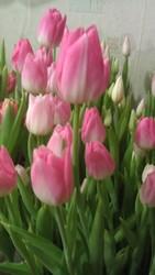 Тюльпан к 8 марта. Крокус и гиацинт.