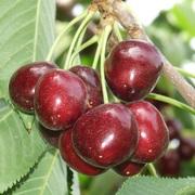 Саженцы фруктовых деревьев