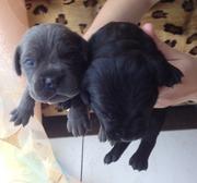 Продам щенков породы Кане-корсо