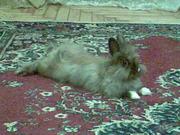 Ангоровый кролик декоративный